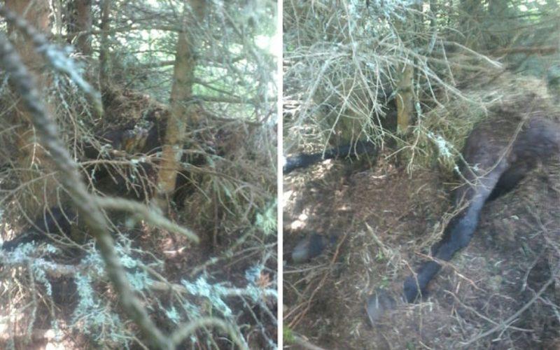 Medved pod zaštitom lovaca iako je ubio konja (VIDEO)